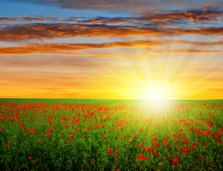 red poppy field in the sunset  photo
