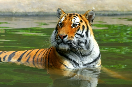 Siberian Tiger in water  photo