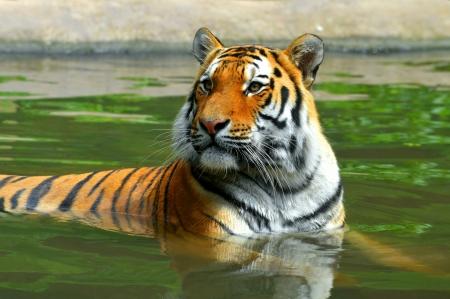 Siberian Tiger in water Stock Photo - 22801273