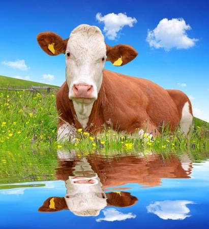 schweiz: Cow in the meadow
