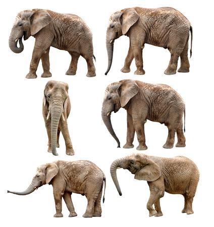 Afrikanische Elefanten isoliert auf wei?
