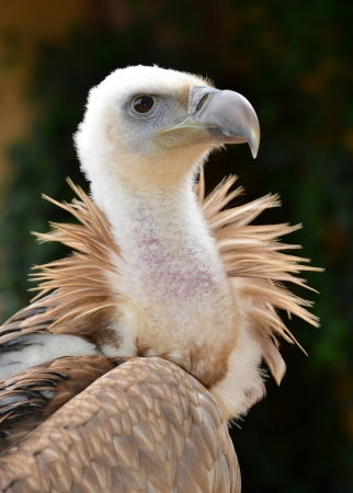 feathering: Griffon Vulture