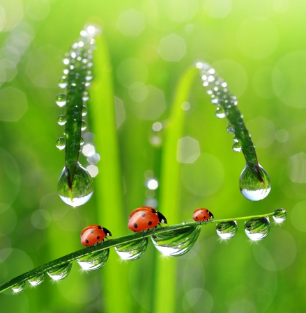rain water: fresh morning dew and ladybird
