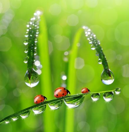 insecto: Ladybird y Roc?o ma?ana fresca Foto de archivo