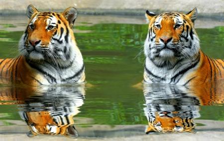 Siberian Tigers in water Stock Photo - 22562772