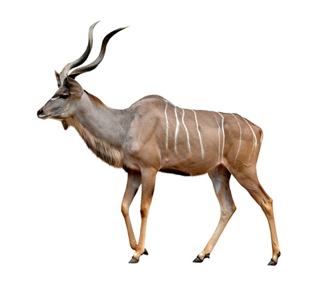 greater: greater kudu isolated on a white