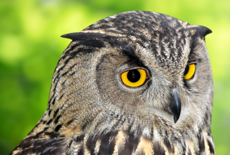 Eagle Owl, Bubo bubo  photo