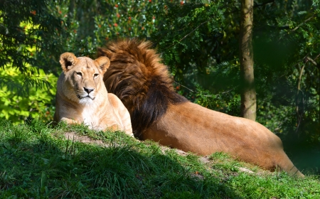 female lion: Lions lying in the grass