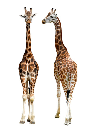 isolated spot: Giraffes isolated Stock Photo