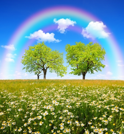 marguerites: field of marguerites with trees and rainbow  Stock Photo