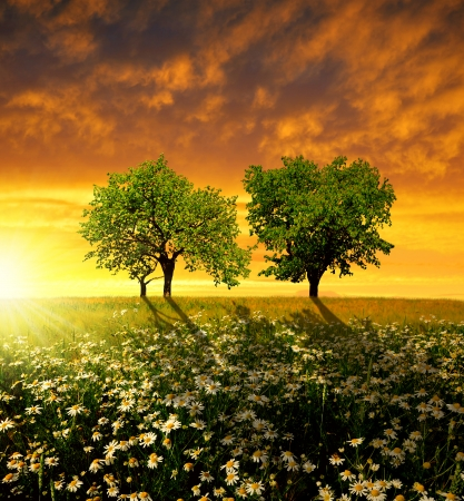 marguerites: field of marguerites with trees in the sunset  Stock Photo
