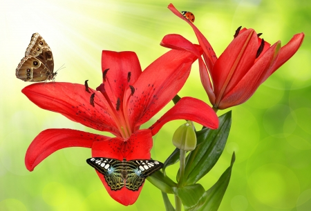 Lily with butterflies on green background  photo