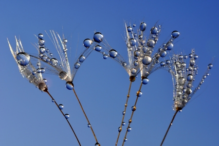 dewy: dewy dandelion