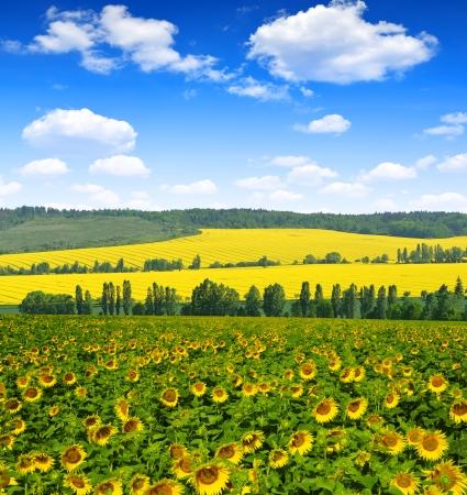 sunflower field: sunflower field
