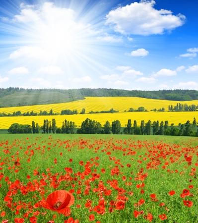 opium poppy: red poppy field with sunny sky