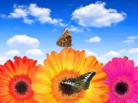 morpho: gerberas with butterflies Stock Photo