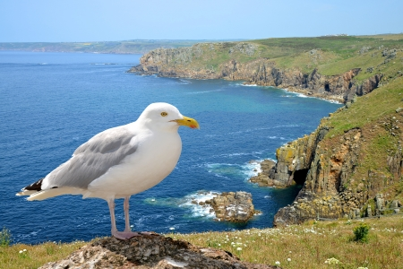 Land s end with seagull in Cornwall  England  photo