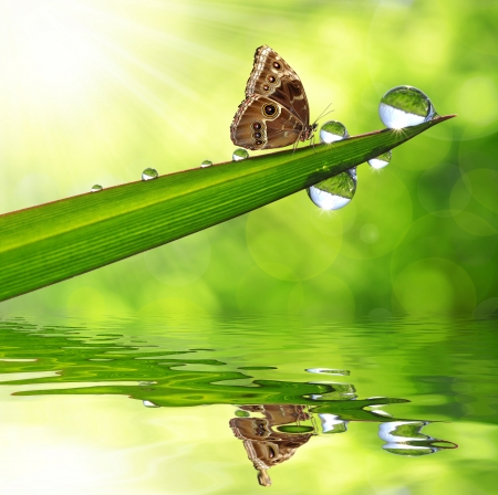 morpho: Water drops on green grass and butterfly Morpho