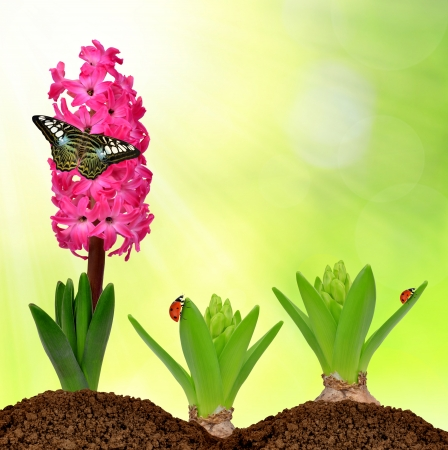 Hyacinth with butterfly and ladybugs  photo