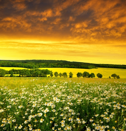 Spring landscape with field of marguerites in the sunset  photo
