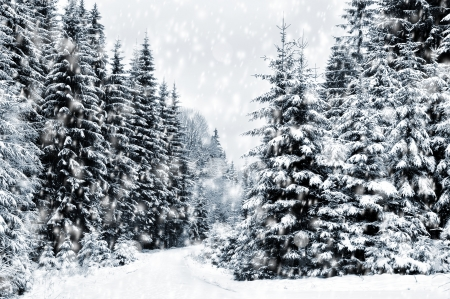 The snowy winter landscape with coniferous trees Stock Photo - 24366718