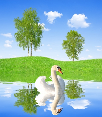 Spring landscape with swan on water level photo