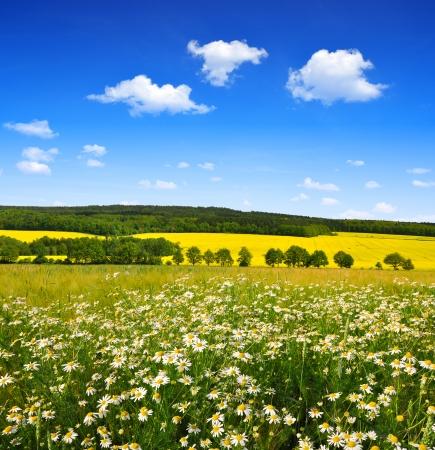 marguerites: field of marguerites  Stock Photo