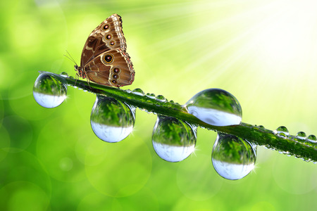 morpho: dew and butterfly Morpho Stock Photo