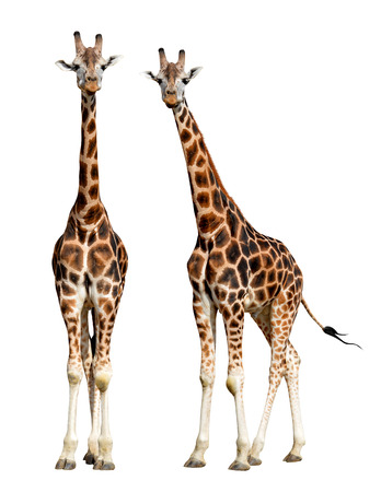 isolated spot: giraffes isolated