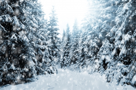 The snowy winter landscape with coniferous trees Stock Photo - 24866539