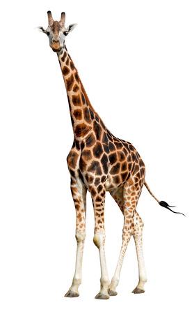 giraffe white background: jirafa aislado
