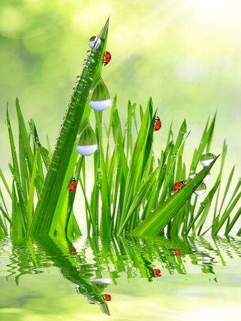 Fresh morning dew on a spring grass and little ladybugs photo