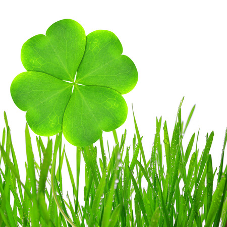 four leaf clover: Fresh dewy green grass with clover leaf isolated on white background