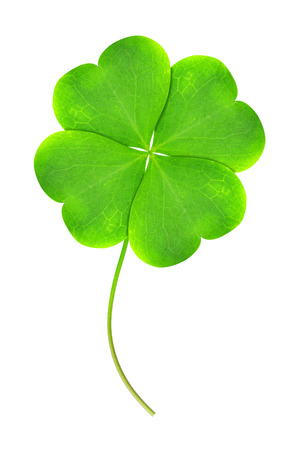 four leaf clovers: Green clover leaf isolated on white background