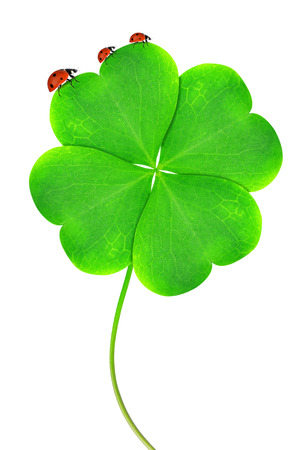 Green clover leaf with ladybugs isolated on white background  photo