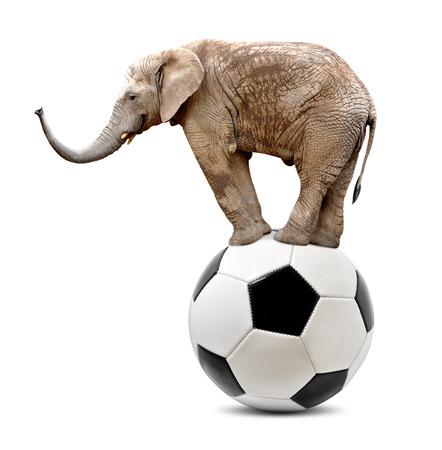 circus elephant: African elephant  balancing on soccer ball
