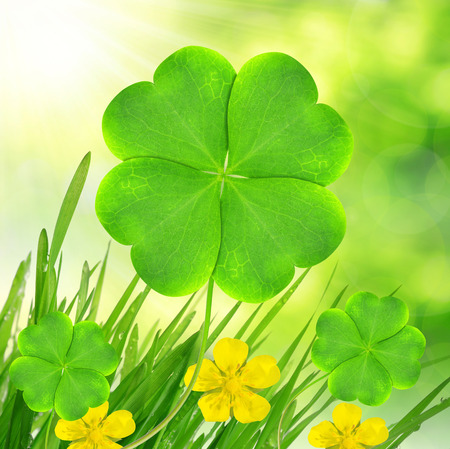 turf flowers: Fresh dewy green grass with clover leaf Stock Photo