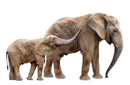Elefanti africani isolato su bianco Archivio Fotografico - 25347130
