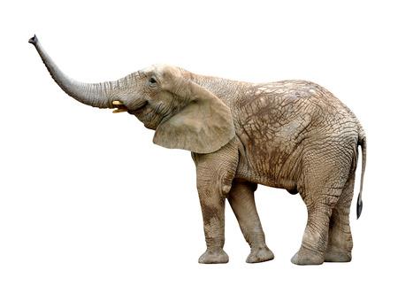 elefante: Elefante africano aislado en blanco Foto de archivo