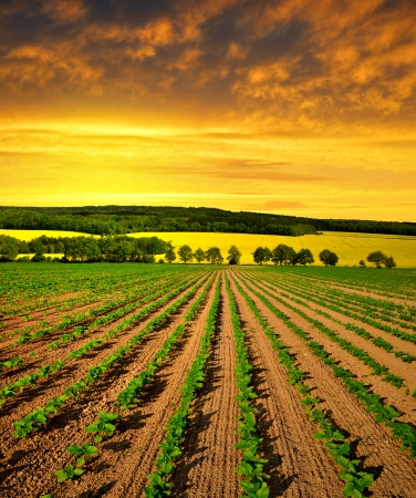 Spring landscape with freshly sown sunflower field in the sunset Stock Photo