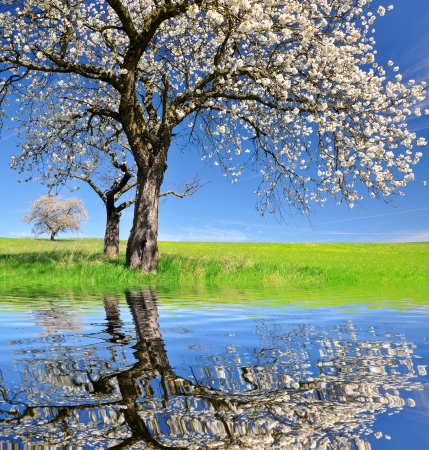 mirror image: Blooming cherry trees