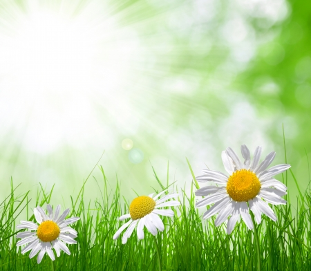Fresh green grass with daisies on meadow Stock Photo - 25347213