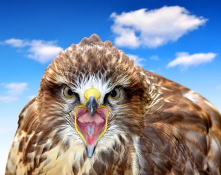 buzzard: Common Buzzard Buteo buteo