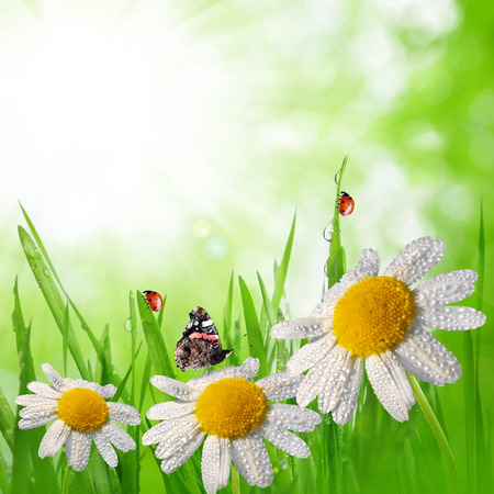 Dewy green grass with daisies on meadow  Spring   photo