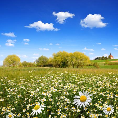 marguerites: Spring landscape with field of marguerites