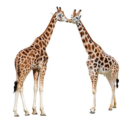 africa kiss: Loving giraffes isolated