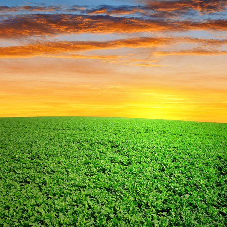field with green canola in the sunset photo