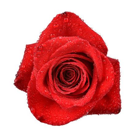 dewy: Dewy Rose