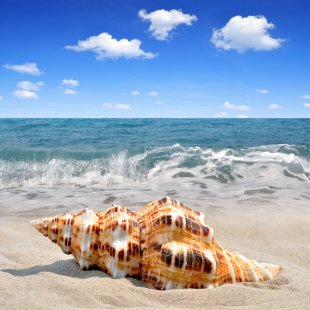conch: Conch shell on beach Stock Photo