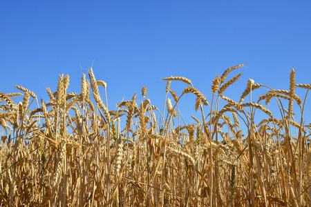 cornfield: golden wheat Stock Photo